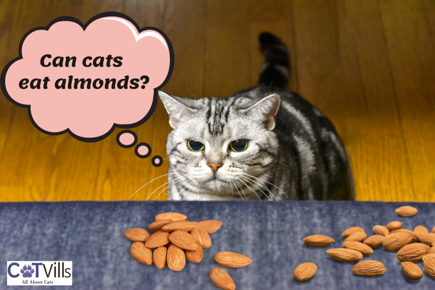 """a cat looking at the almonds in the gray table thinking """"can cats eat almonds?"""""""