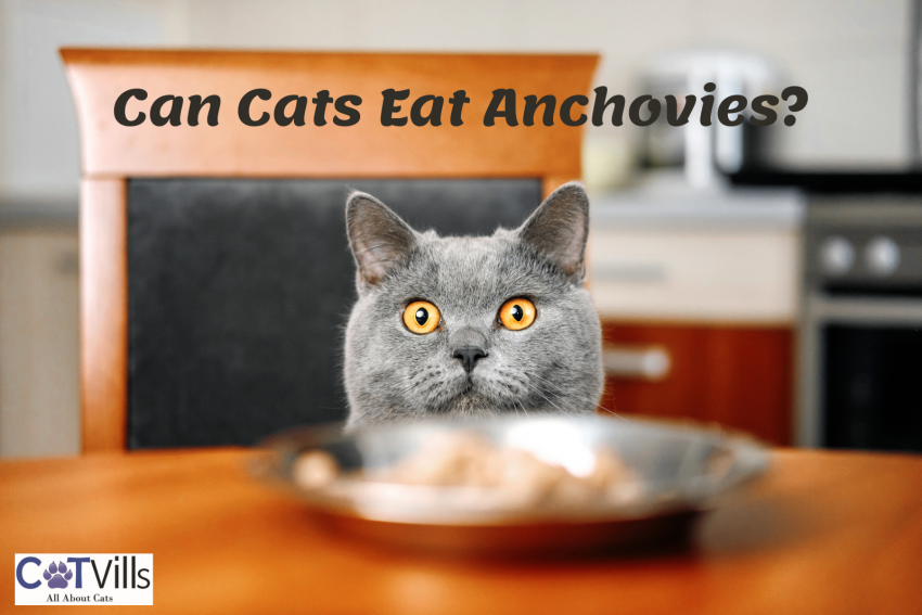 """a fat gray cat looking on the metal bowl in the table thinking """"Can cats eat anchovies?"""""""