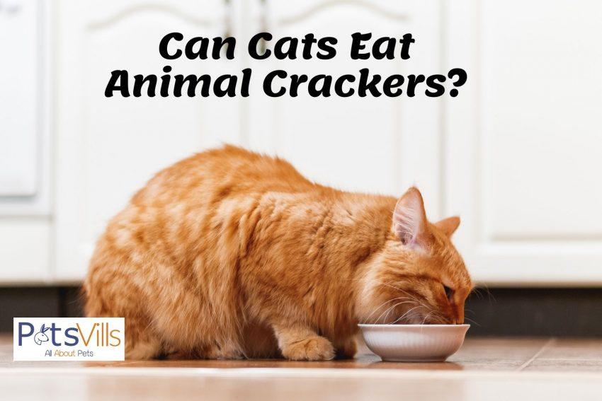 a large orange cat eating plain crackers on a white bowl