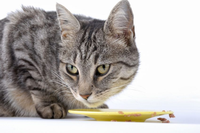 cat eating dry food on a yellow plate