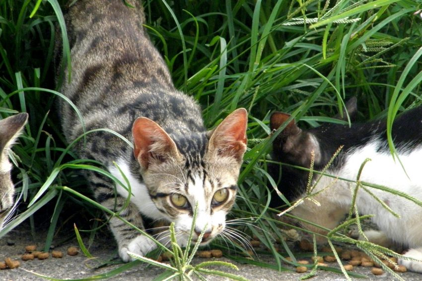 group of cats eating dry food on the grasses