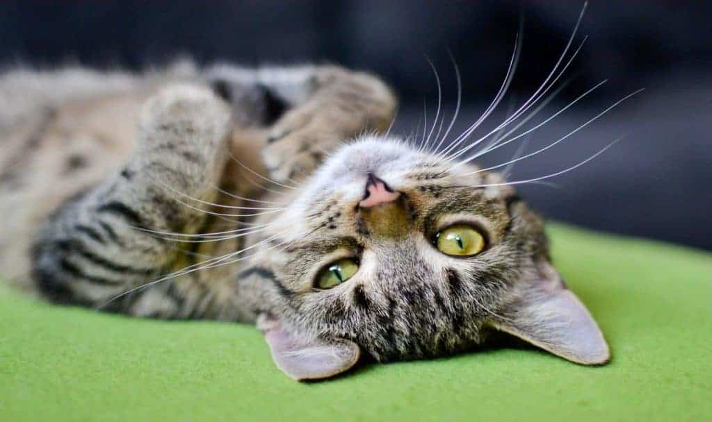 Tiger Cat Names: 100 Amazing Ideas for Males & Females