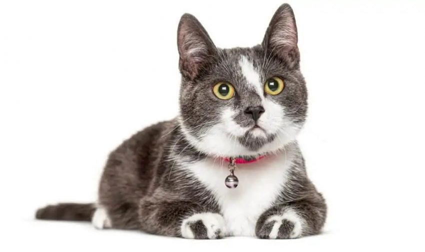 Grey and white cat wearing a bell on his collar