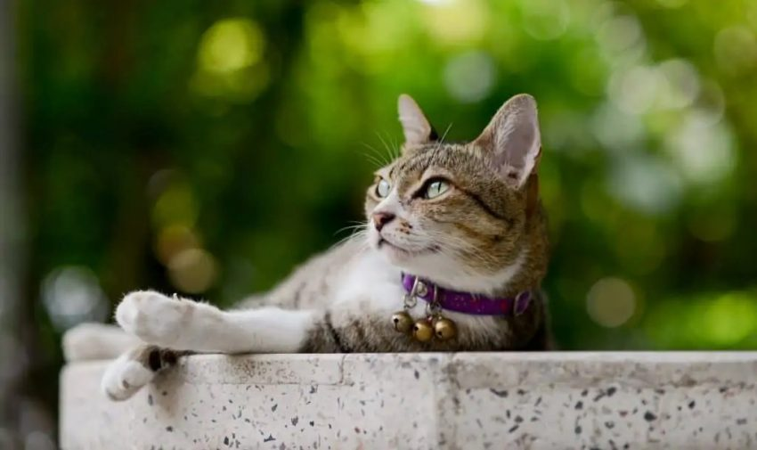 Grey and white cat with a purple collar with bells on it.