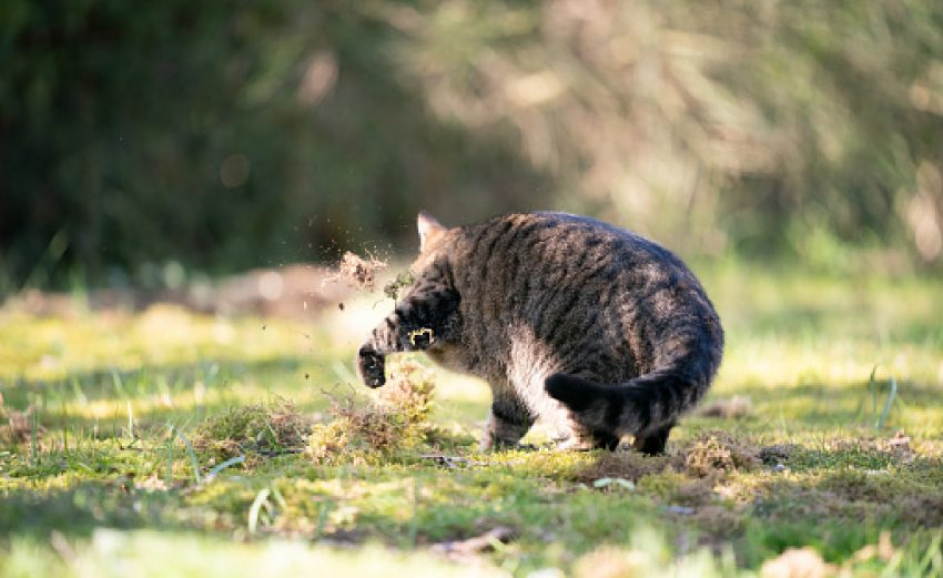 tabby cat digging in grass covering urine