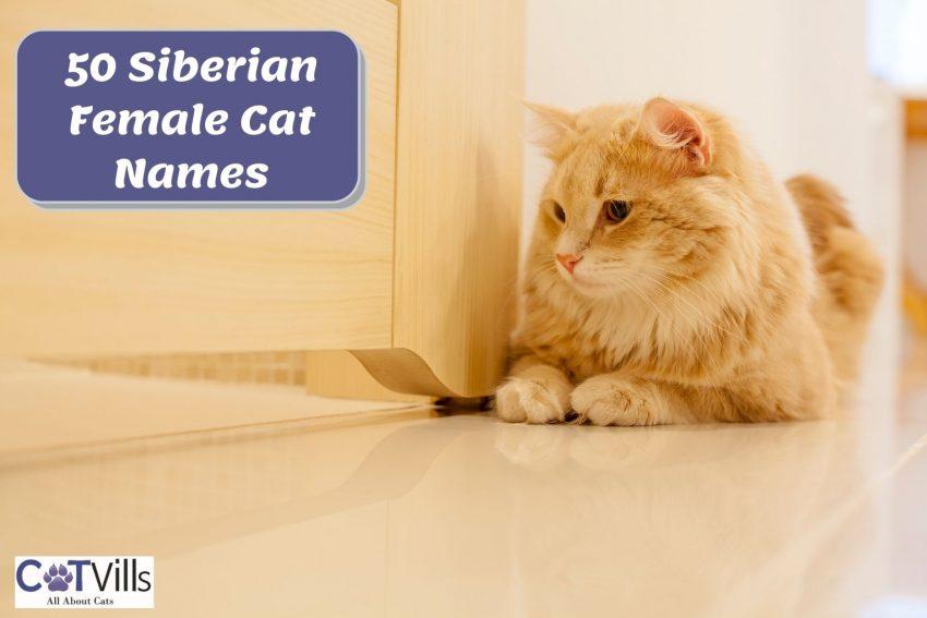 Siberian cat sitting beside a wooden door