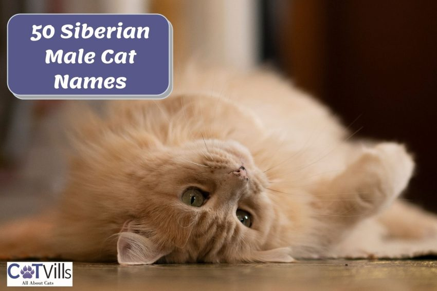 a Siberian cat playing while lying on the floor