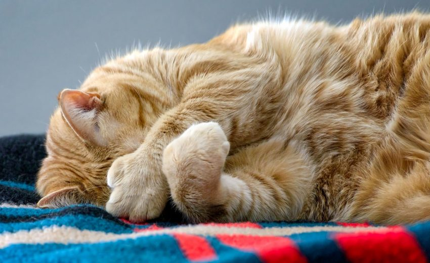 Cute polydactyl ginger tabby cat sleeps on colorful blanket while covering face with large paws.