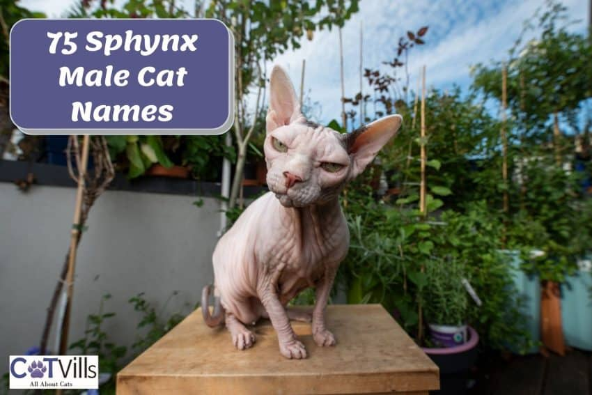 an angry Sphynx cat looking at the camera