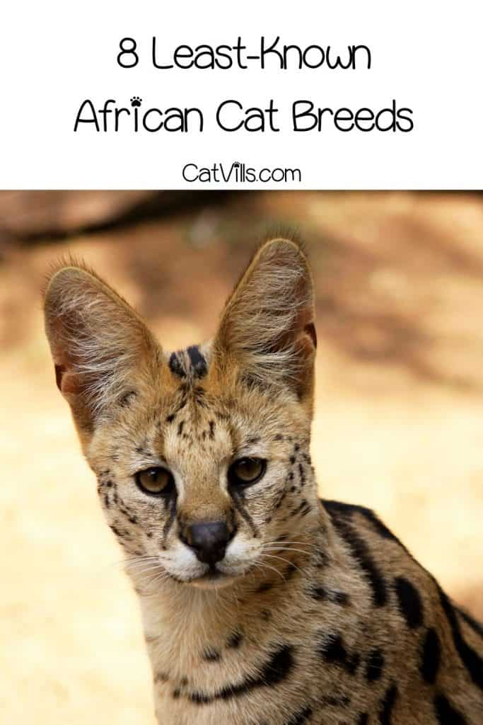 8 Least-Known African Cat Breeds