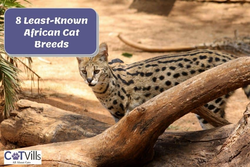 A serval cat standing behind a wood. It is one of the most beautiful african cat breeds.