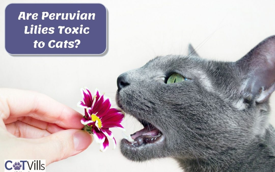 Are Peruvian Lilies Toxic to Cats? How About True Lilies?