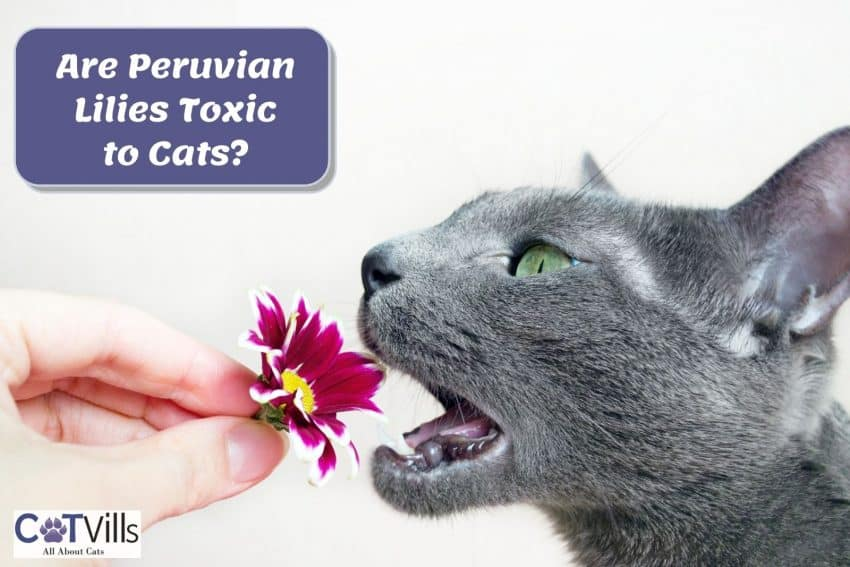 a gray cat is about to eat a purple flower
