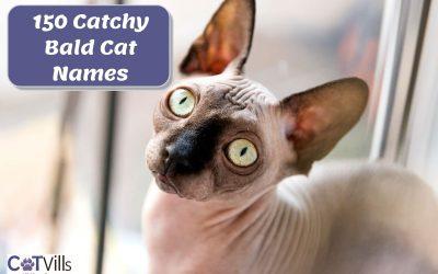 150 Unforgettable Bald Cat Names