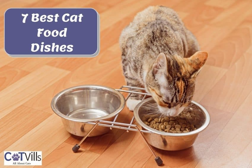 tiger cat eating dry cat food in the best cat food dishes