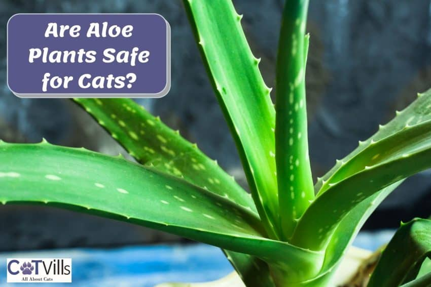an aloe vera plant. are aloe plants safe for cats?