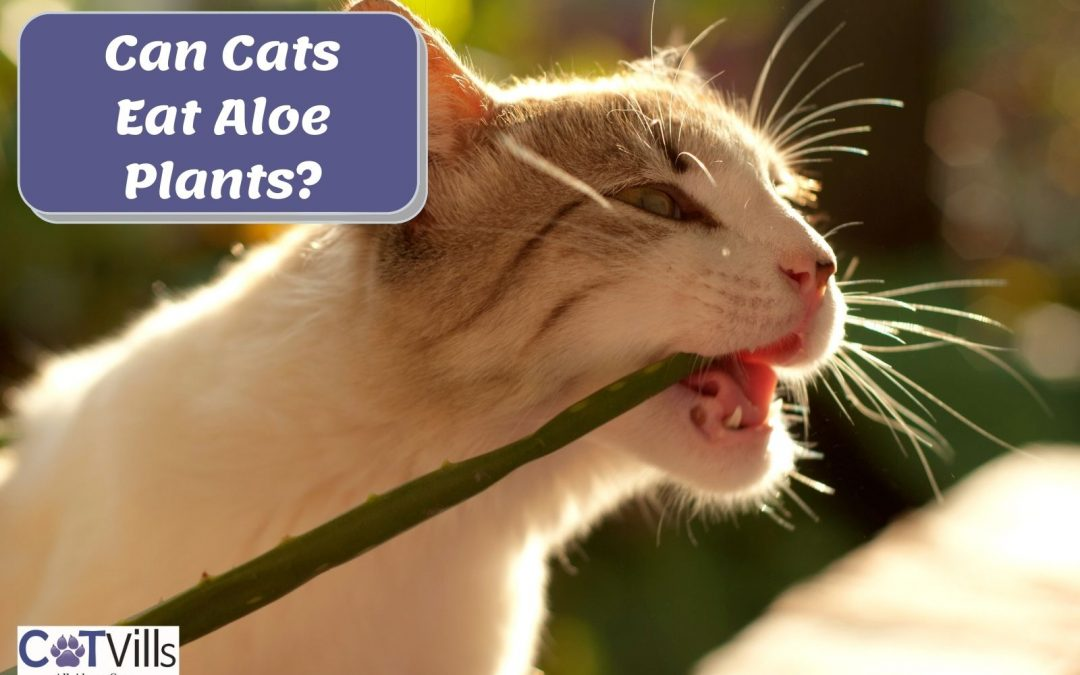 Can Cats Eat Aloe Plants? (Is it Safe for Their Skin?)