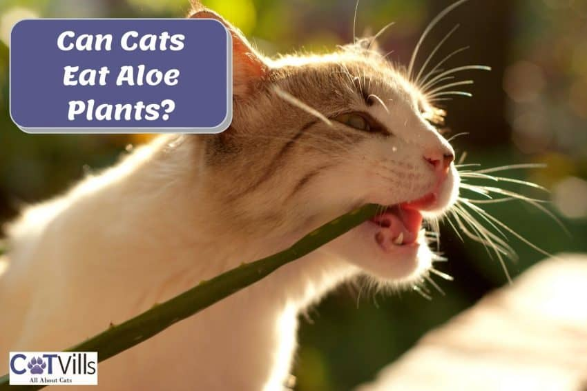 cat chewing an aloe vera. can cats eat aloe plants? is it safe?