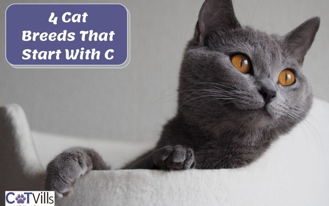 4 Gorgeous Cat Breeds That Start With C