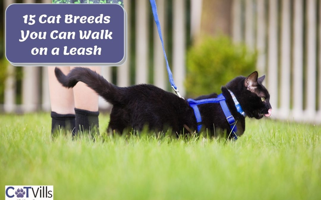15 Amazing Cat Breeds You Can Walk On A Leash