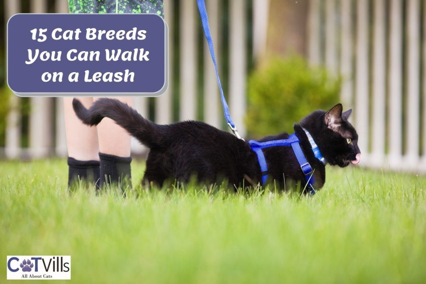 bombay cat walking on a leash
