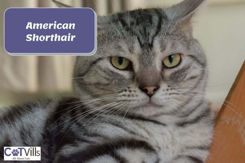 a large American shorthair cat