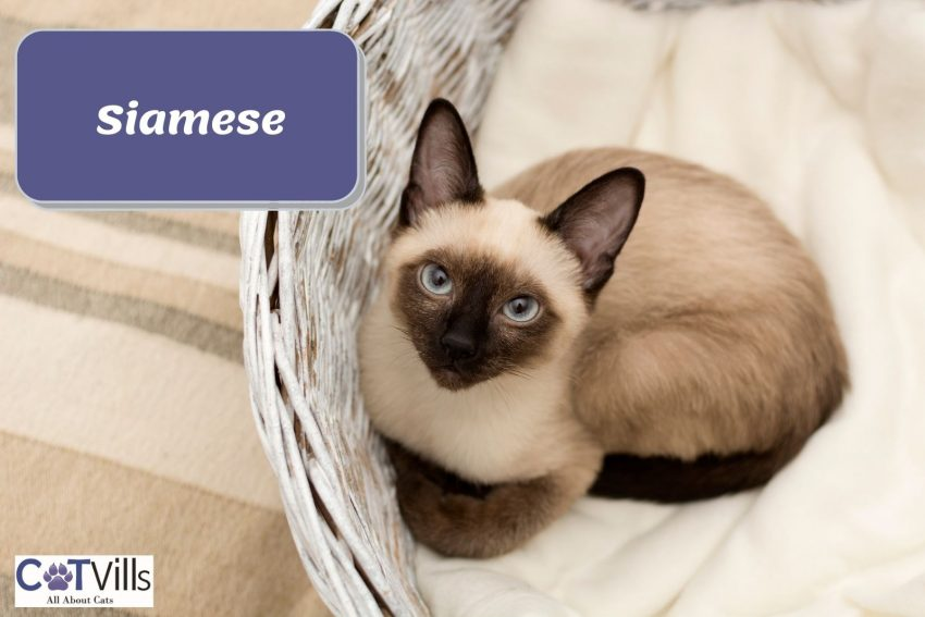a pretty Siamese cat sitting on his cat bed