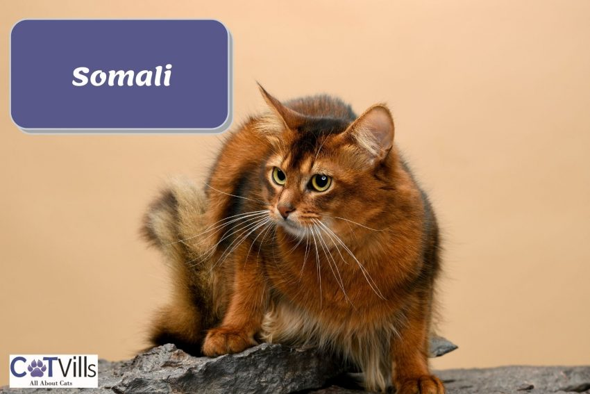 somali cat hunting food outside