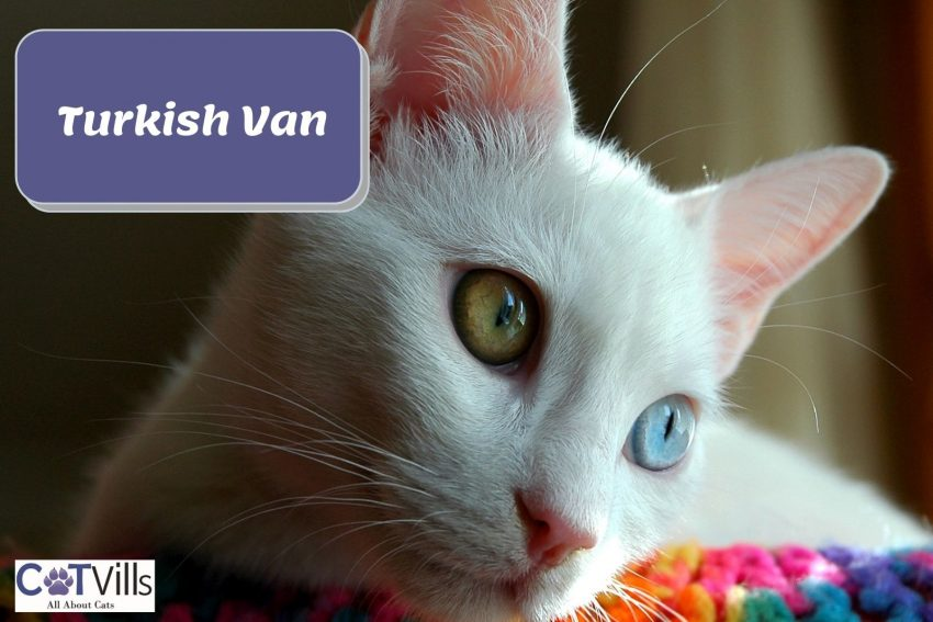 turkish van cat with yellow and blue eyes