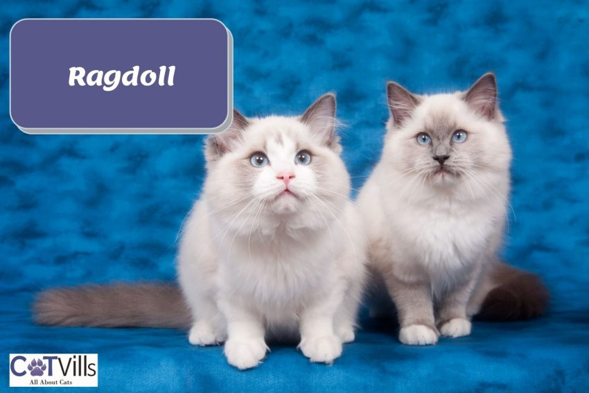 two adorable ragdoll cats sitting beside each other