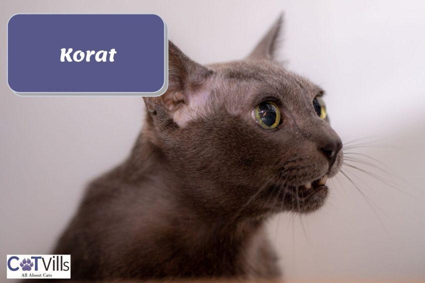 a meowing Korat cat