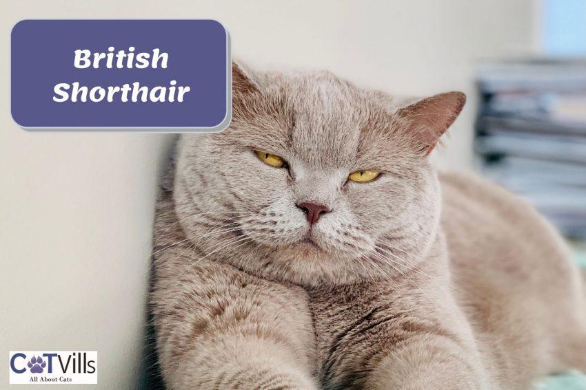 sleepy British Shorthair cat