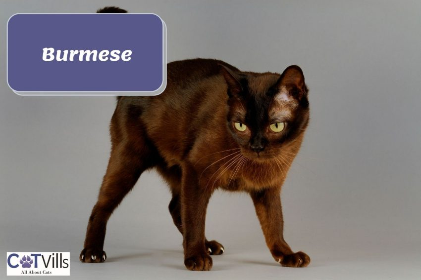 Burmese cat with silky brown hair