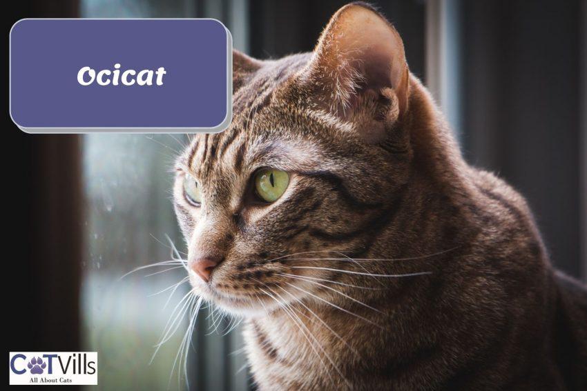 Ocicat staring outside the window