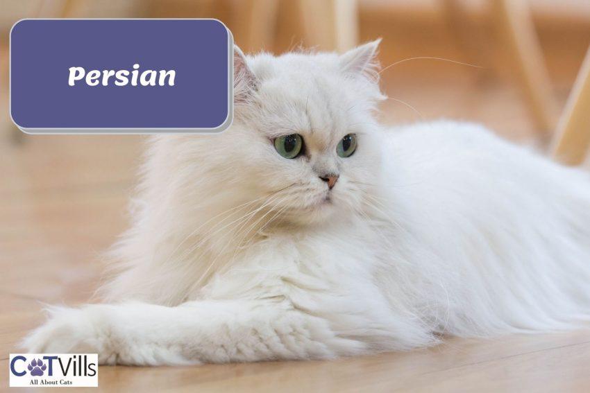 beautiful green-eyed Persian cat