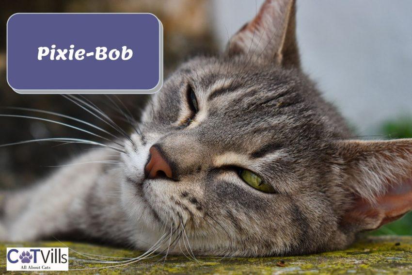 sleeping Pixie-bob cat