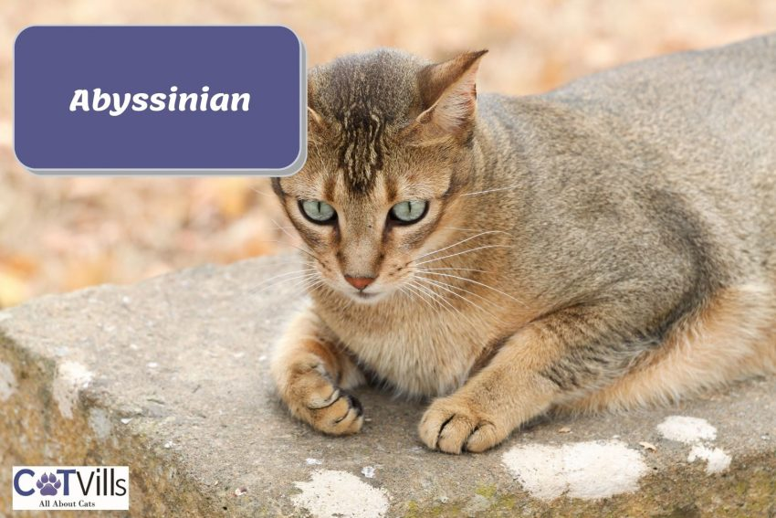 Abyssinian cat sitting on top of a stone