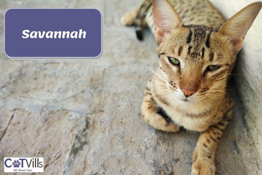 Savannah cat lying on the floor