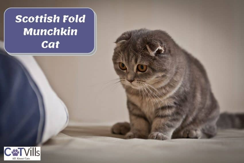 Scottish Fold Munchkin Cat curious about the thing in front of her