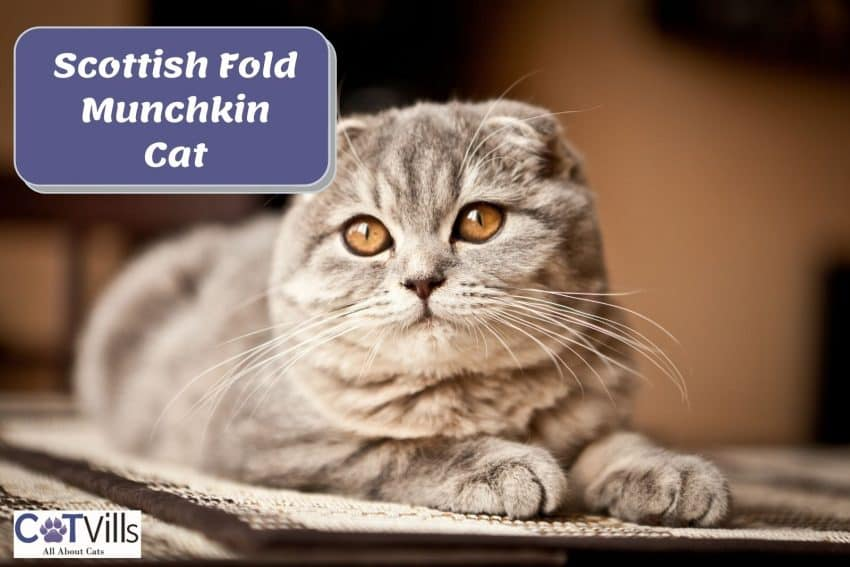a very adorable Scottish Fold Munchkin Cat with orange eyes