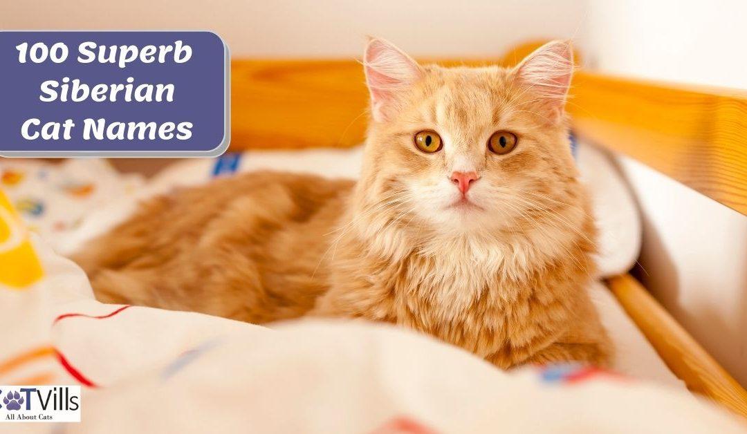 100 Superb Siberian Cat Names for Male & Female Kitties