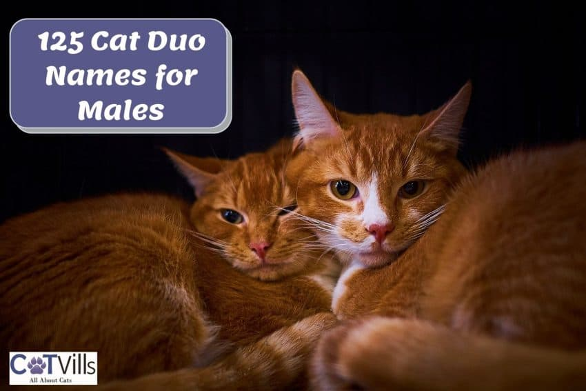 two orange tabby cats cuddling with each other