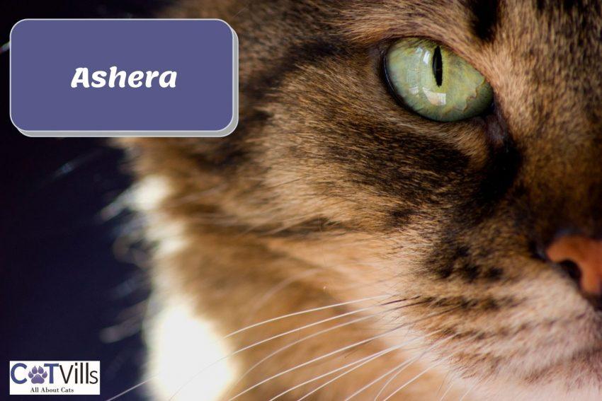 a close-up shot of Ashera cat's green eye
