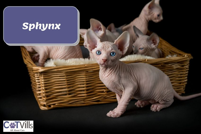 a basket loaded with Sphynx kittens