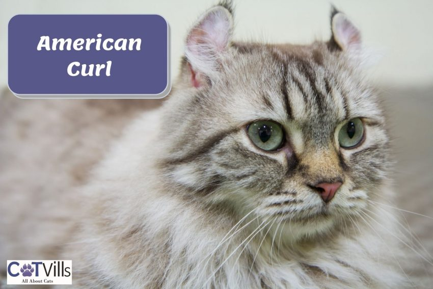 side view of a serious-faced American Curl cat
