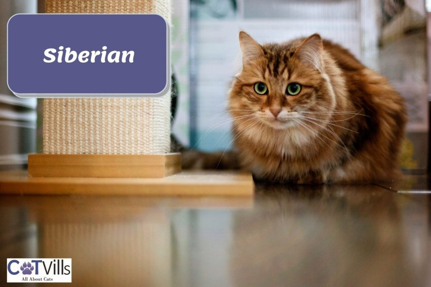a Siberian cat beside a wide cat tree