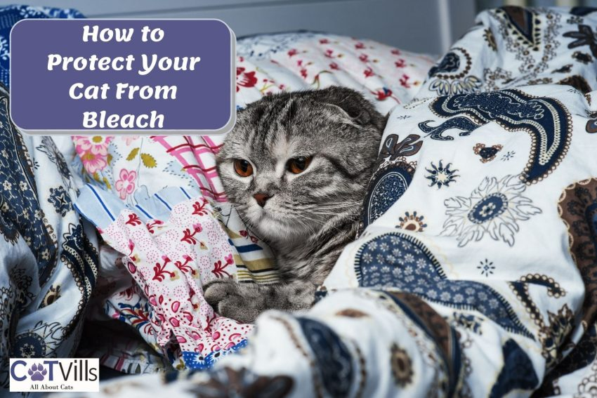 scottish fold covered by colorful blankets