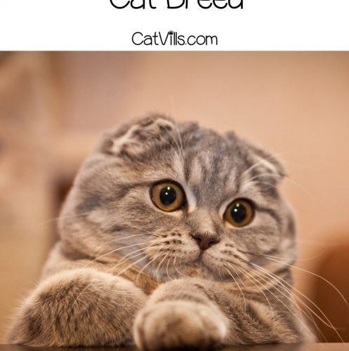 a very adorable Scottish Fold Munchkin Cat placing his hands on the table