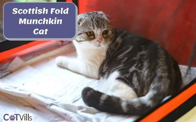 All You Need to Know About Scottish Fold Munchkin Cat