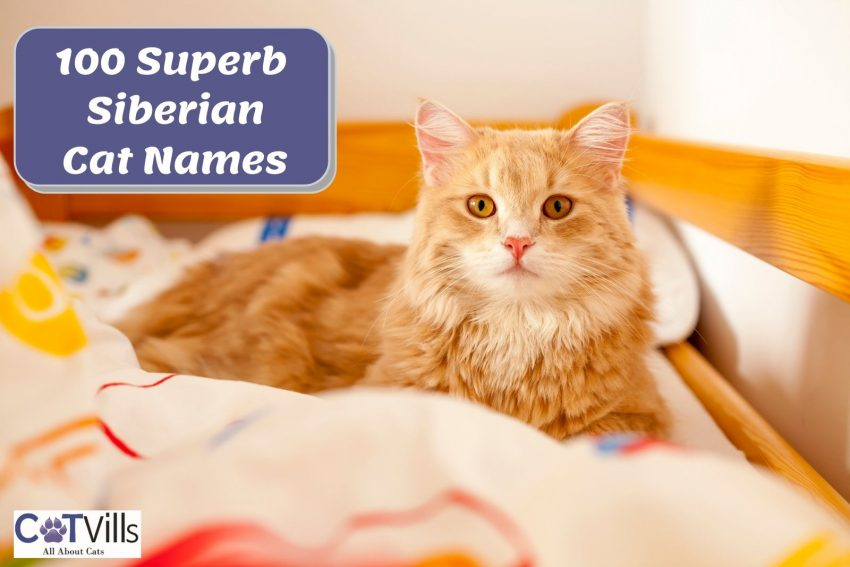 a very beautiful Siberian cat perfect to have any superb Siberian cat names